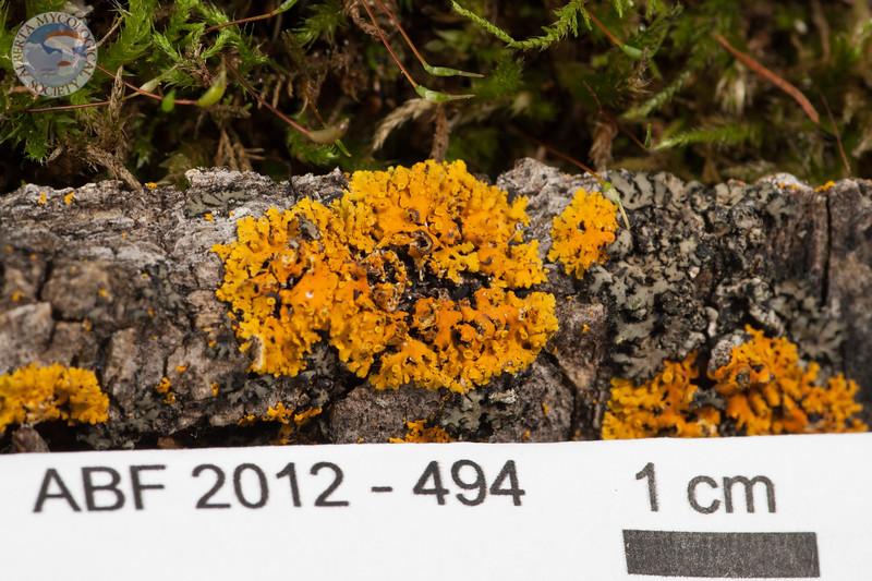 ABF-2012-494 Xanthoria montana