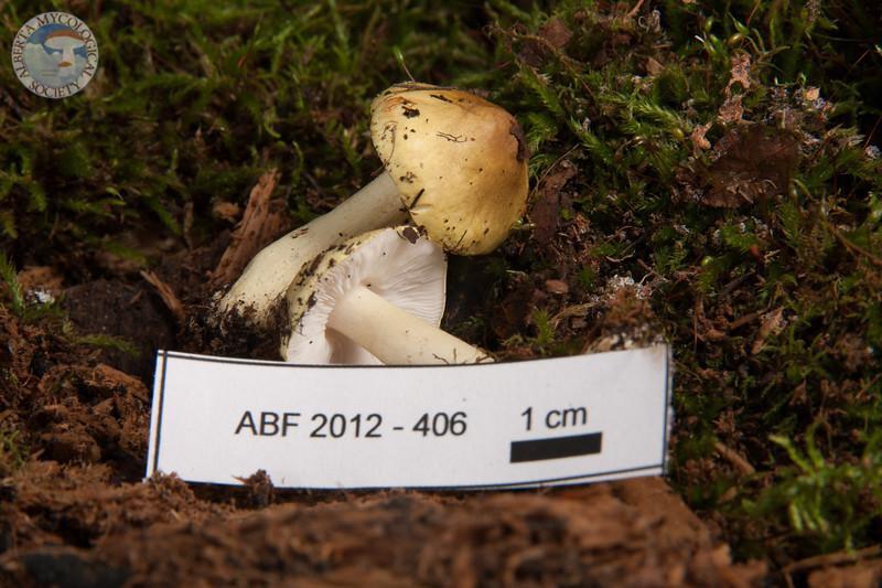 ABF-2012-406 Tricholoma leucophyllum