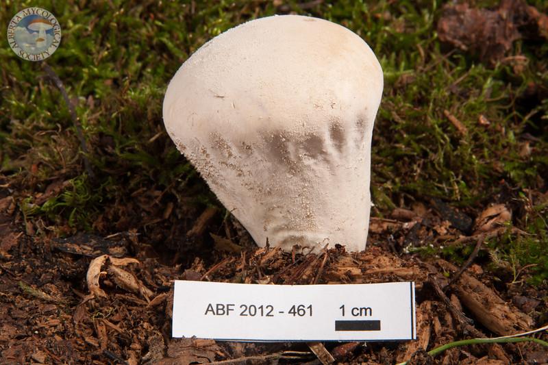 ABF-2012-461 Calvatia bovista