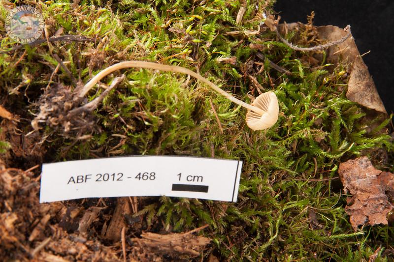 ABF-2012-468 Mycena olivaceomarginata