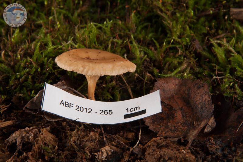 ABF-2012-265 Gymnopus dryophilus