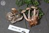 ABF-2013-346 Mycena maculata