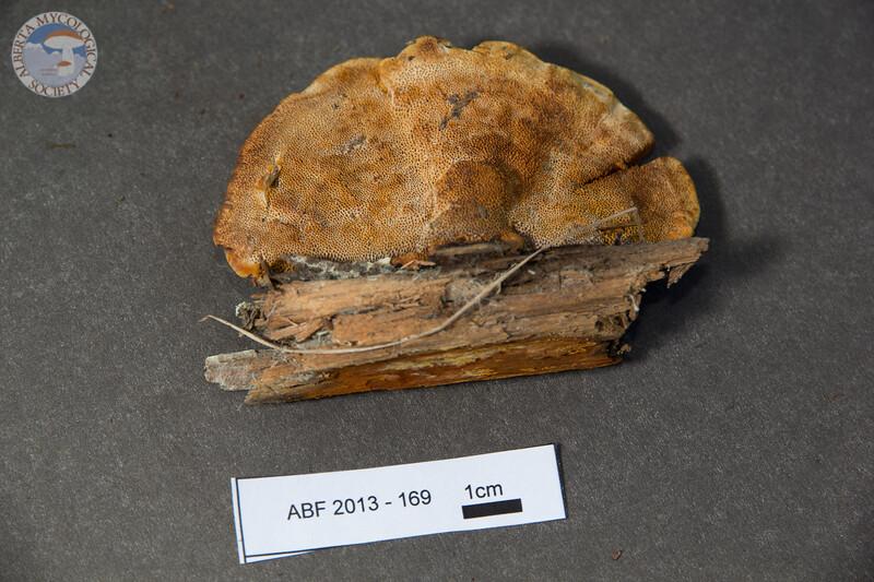ABF-2013-169 Porodaedalea pini group