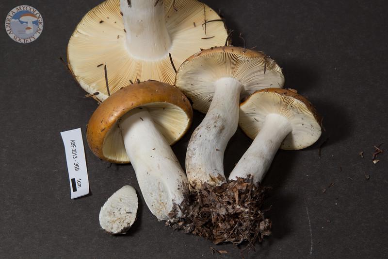 ABF-2013-369 Russula decolorans
