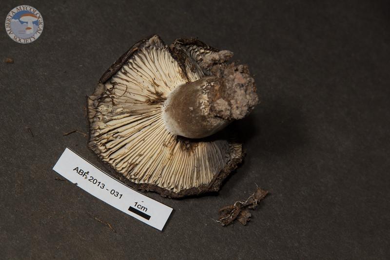 ABF-2013-031 Russula nigricans
