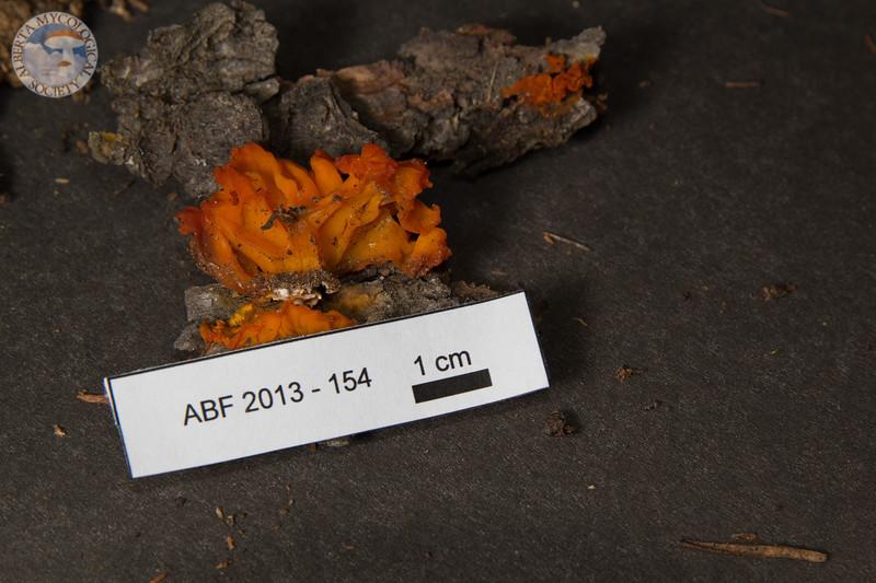 ABF-2013-154 Dacrymyces sp.