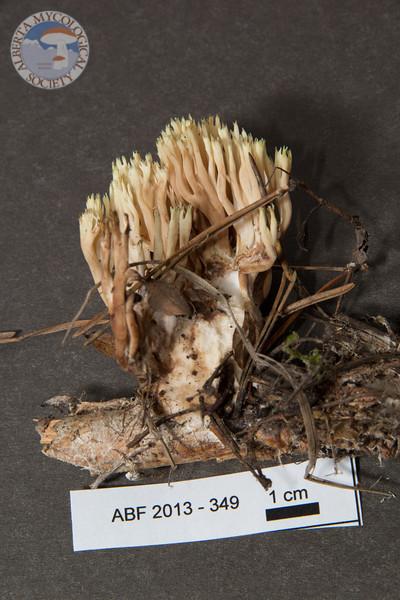 ABF-2013-349 Lentaria pinicola