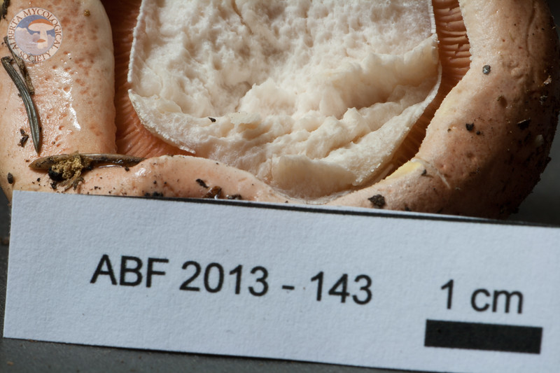 ABF-2013-143 Hygrophorus erubescens