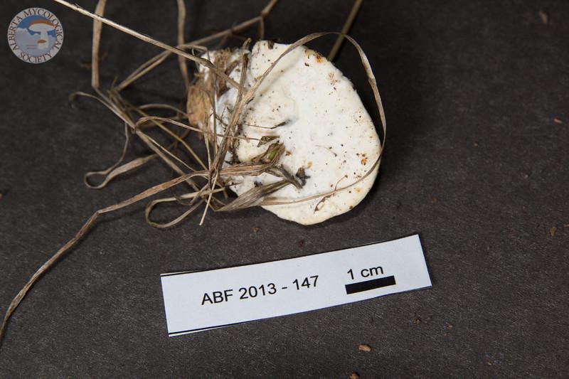 ABF-2013-147 Trametes suaveolens