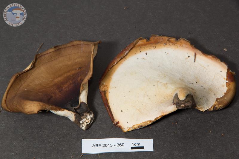 ABF-2013-360 Polyporus badius