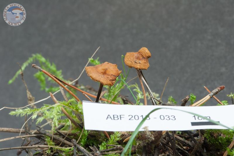 ABF-2013-033 Xeromphalina fraxinophila