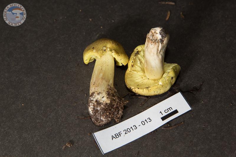 ABF-2013-013 Tricholoma flavovirens
