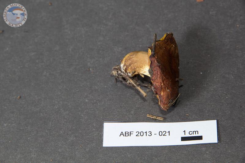 ABF-2013-021 Suillus brevipes