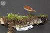 ABF-2013-358 Polyporus melanopus