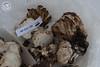 ABF-2013-039 Lyophyllum shimeji