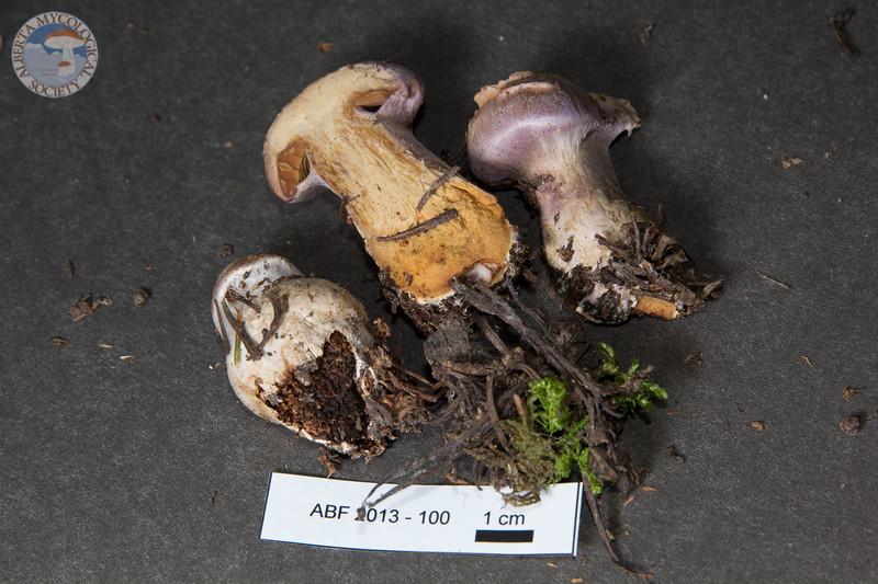 ABF-2013-100 Cortinarius traganus