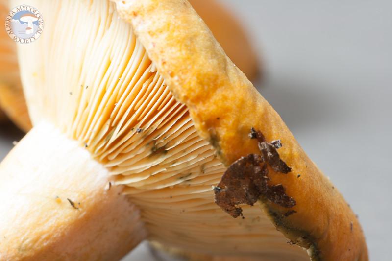 ABF-2013-117 Lactarius deliciosus