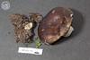 ABF-2013-373 Russula densifolia