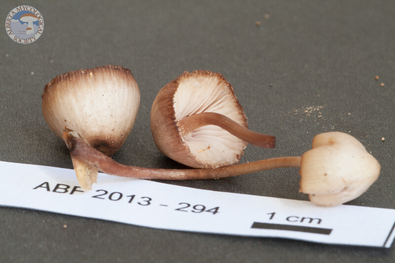 ABF-2013-294 Mycena haematopus