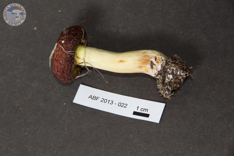 ABF-2013-022 Suillus brevipes