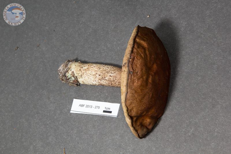 ABF-2013-275 Leccinum fibrillosum