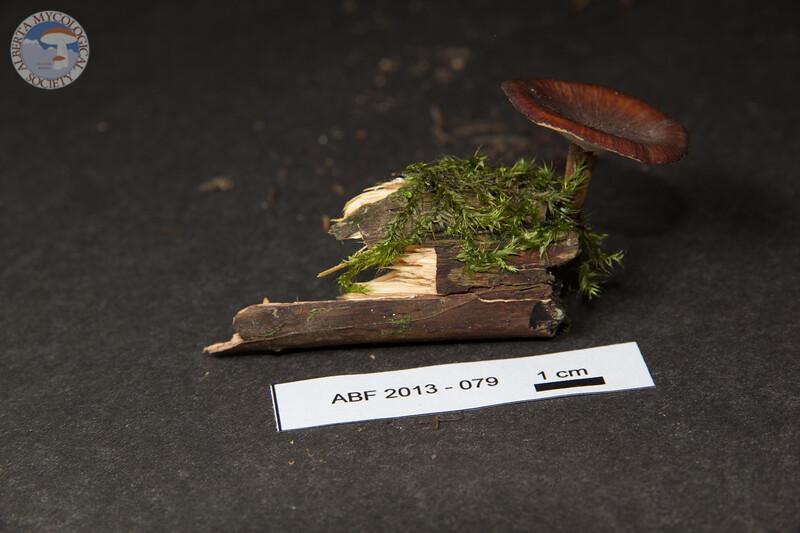 ABF-2013-079 Polyporus melanopus