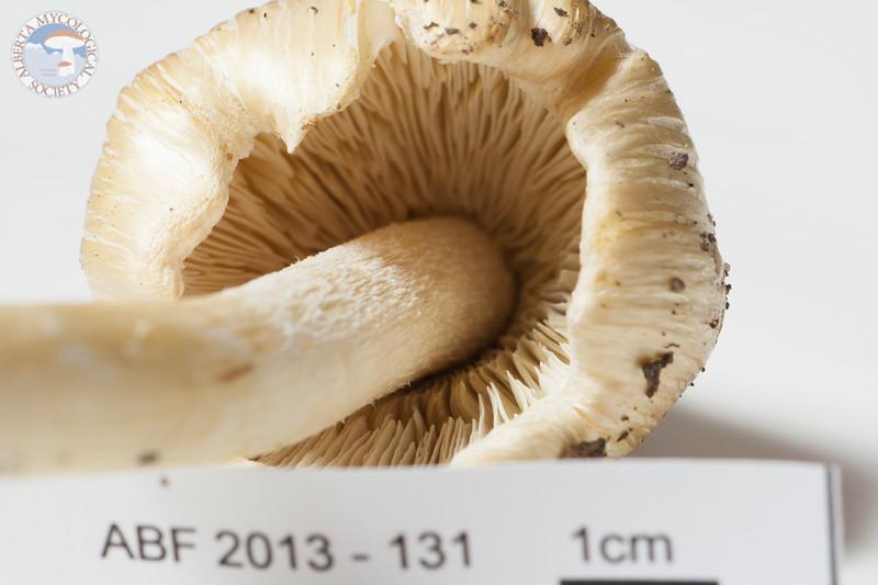 ABF-2013-131 Inocybe rimosa
