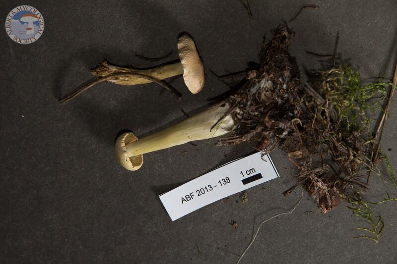 ABF-2013-138 Tricholoma sulphureum