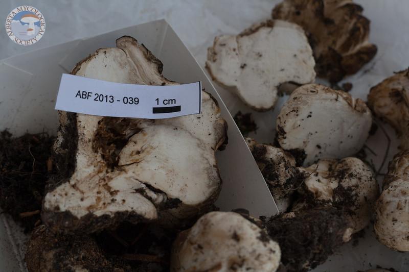 ABF-2013-039 Endoptychum sp?