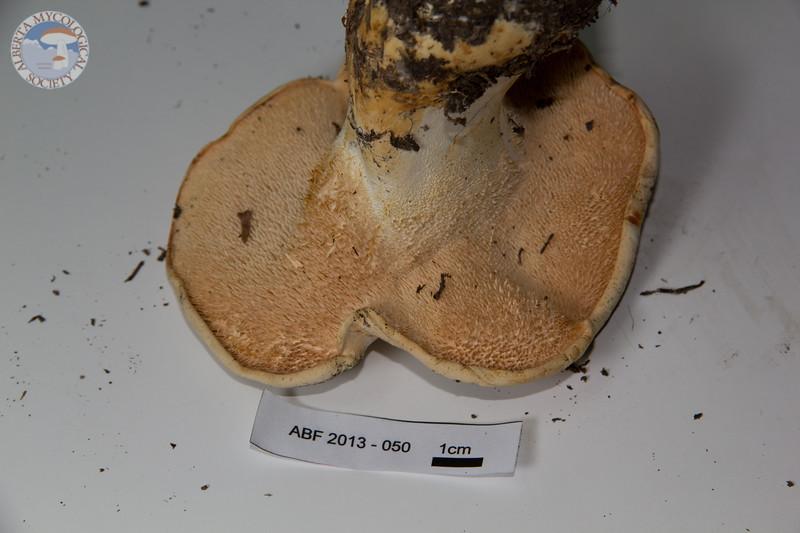 ABF-2013-50 Hydnum repandum