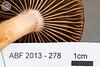 ABF-2013-278 Chroogomphus rutilus / ochraceus