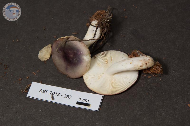 ABF-2013-387 Russula fragilis