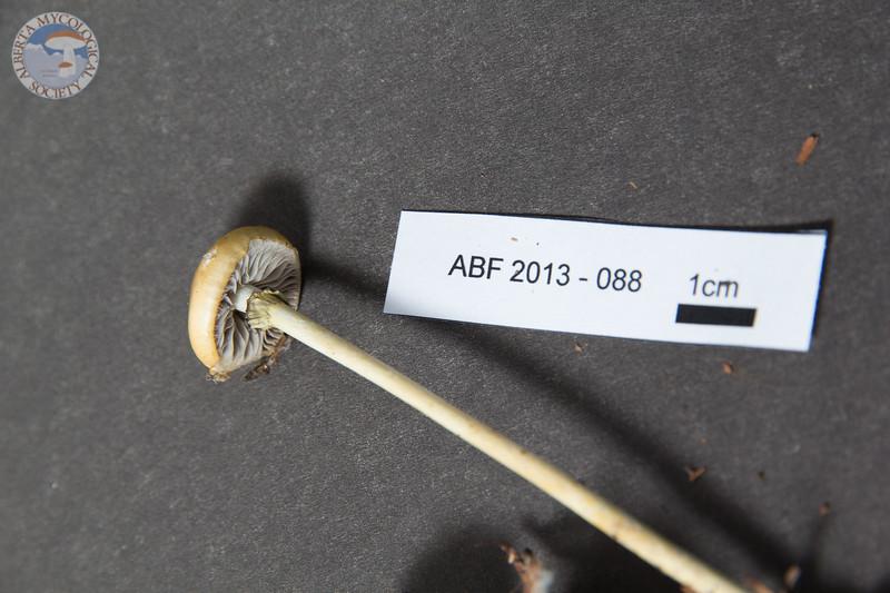 ABF-2013-088 Stropharia alcis