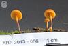 ABF-2013-066 Xeromphalina campanella