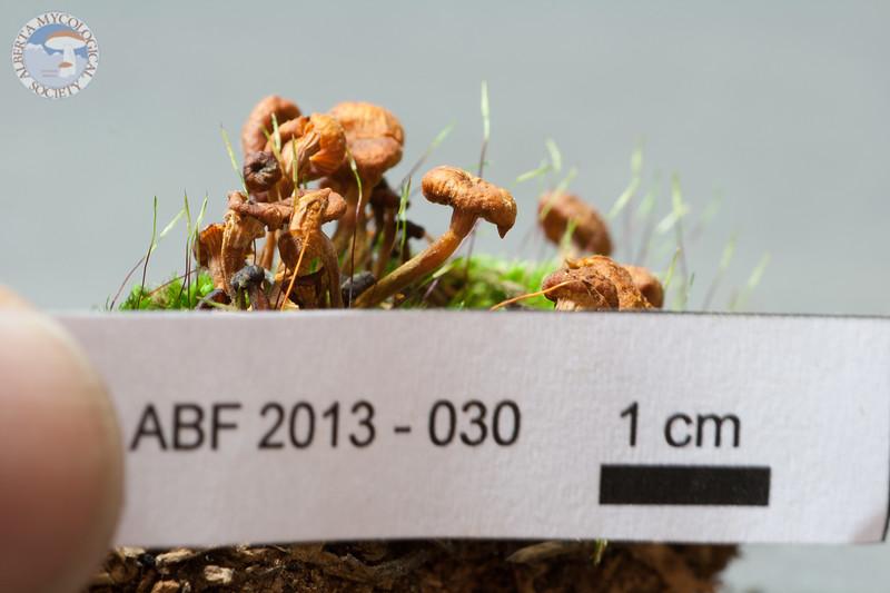 ABF-2013-030 Xeromphalina cauticinalis