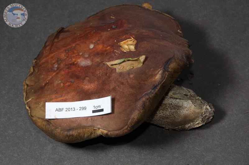 ABF-2013-299 Leccinum fibrillosum
