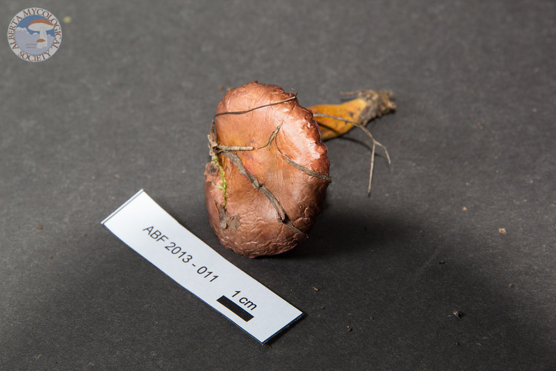 ABF-2013-011 Chroogomphus rutilus