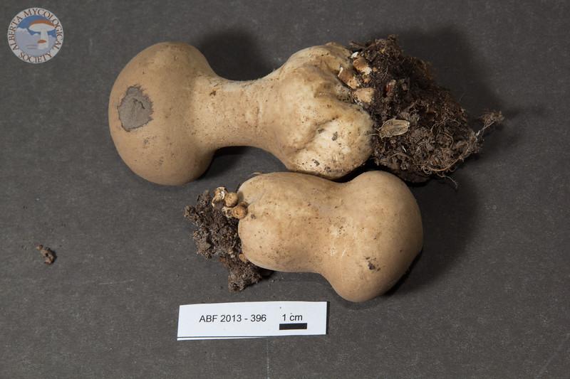 ABF-2013-396 Calvatia excipuliformis