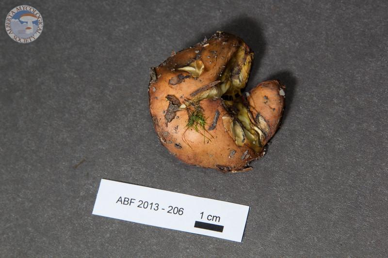 ABF-2013-206 Suillus quiescens