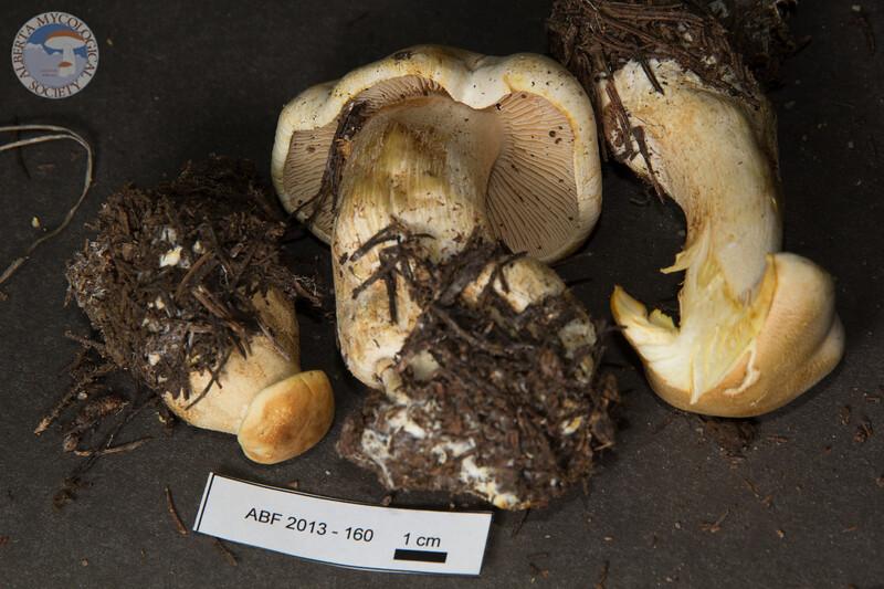 ABF-2013-160 Tricholoma sulphurescens
