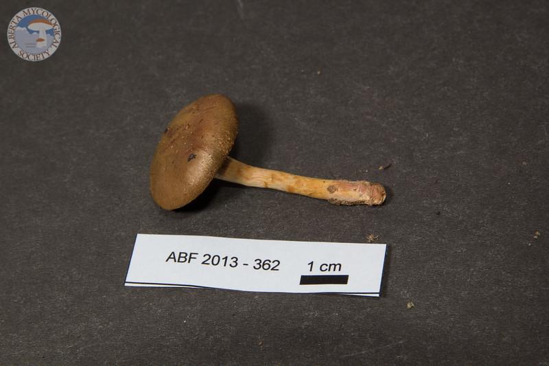 ABF-2013-362 Cortinarius semisanguineus