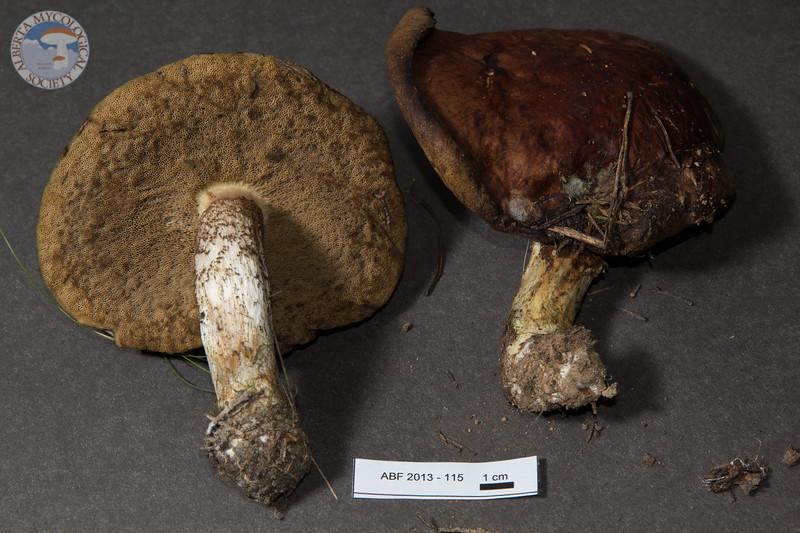 ABF-2013-115 Leccinum vulpinum