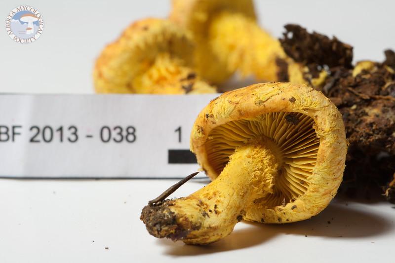 ABF-2013-038 Pholiota flammans