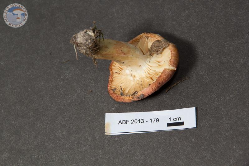 ABF-2013-179 Hygrophorus cf agathosmus