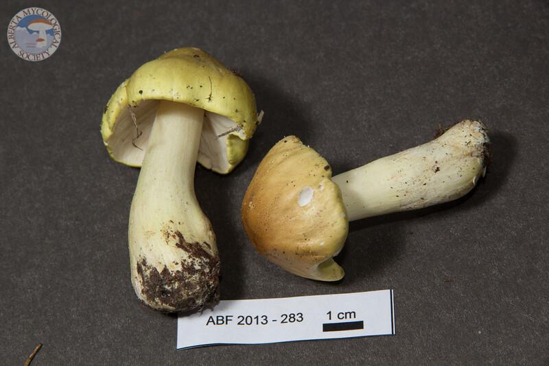 ABF-2013-283 Tricholoma sejunctum