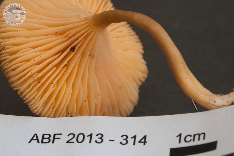 ABF-2013-314 Omphalina luteicolor