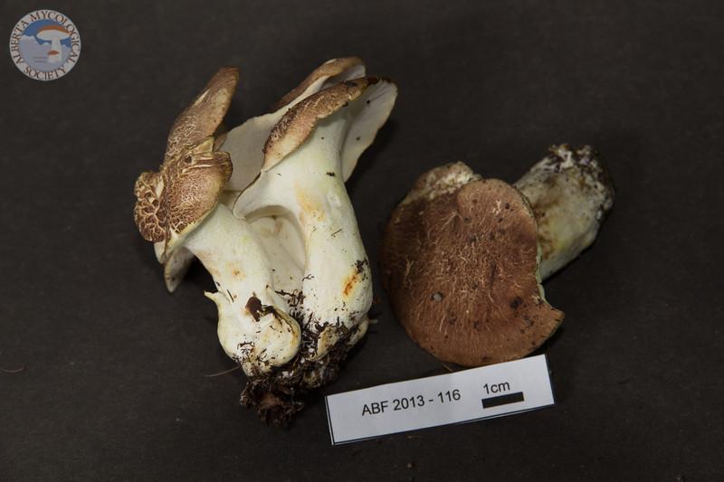 ABF-2013-116 Albatrellus subrubescens