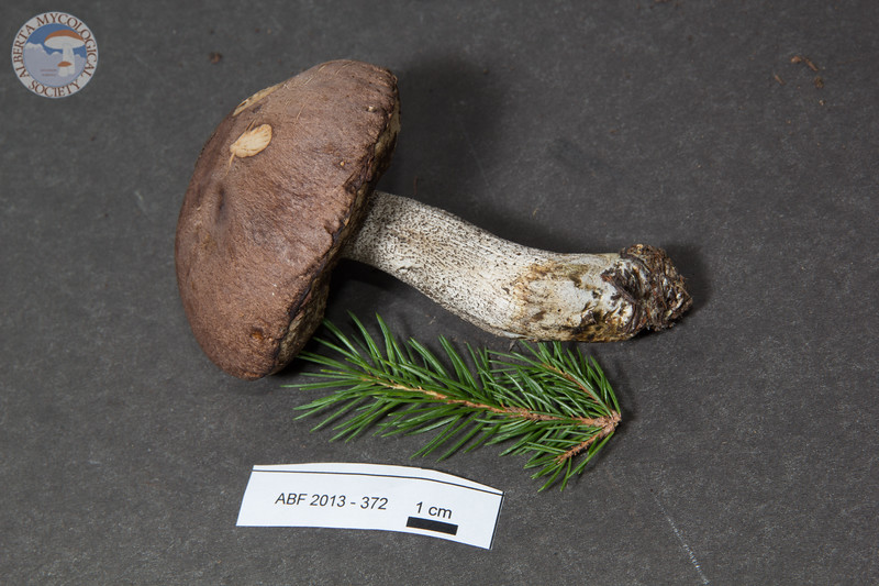 ABF-2013-372 Leccinum snellii