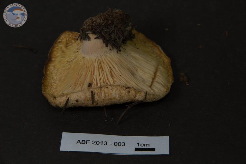 ABF-2013-003 Lactarius villosus