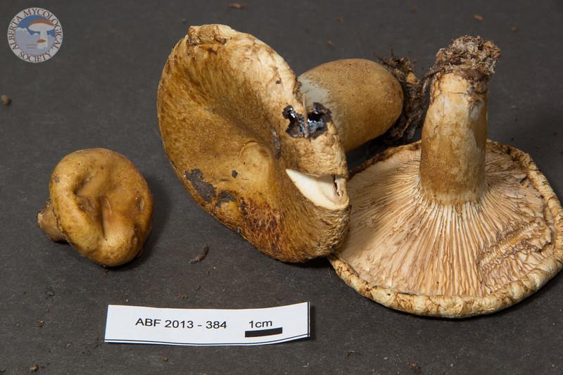 ABF-2013-384 Lactarius scrobiculatus gp.